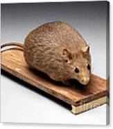 Bioengineered Obese Mouse, 1998 Canvas Print