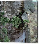 Birch Bark 1 Canvas Print