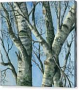 Birch Eye View Canvas Print