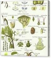 Birch, Hazel, Oak, And Willow Canvas Print