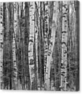 Birch Stand Canvas Print