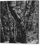 Birch Tree Forest Canvas Print