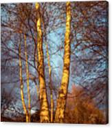 Birch Tree In Golden Hour Canvas Print
