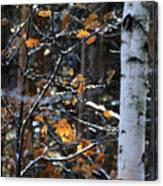 Birch Tree In Winter Canvas Print