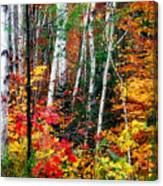 Birch Trees With Colorful Fall Foliage Canvas Print