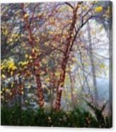 Birch Weightlessness Canvas Print