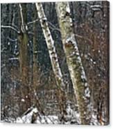 Birches During A Snowfall Canvas Print
