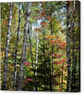Birches In Fall Forest Canvas Print