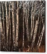 Birches In The Rain Canvas Print
