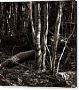 Birches In The Wood Canvas Print