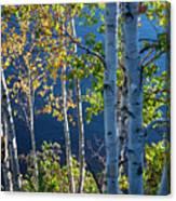 Birches On Lake Shore Canvas Print