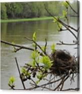Bird Nest In Ash Tree Branches Canvas Print