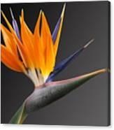Bird Of Paradise #3 Canvas Print