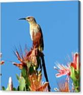 Bird On Protea Canvas Print