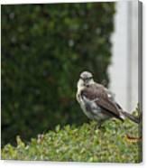 Bird On The Hedges Canvas Print