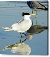 Bird - Tern - Reflection Canvas Print