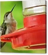 Female Ruby-throated Hummingbird Canvas Print