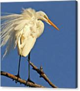 Birds - Great Egret Canvas Print