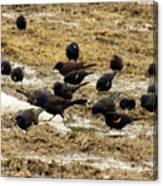 Birds In The Mud Canvas Print