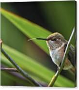 Birds Of Bc - No. 31 - Rufous Hummingbird - Selasphorus Rufus Canvas Print