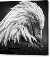 Birds Of Bc - No.30 - Bald Eagle - Keeping Clean Canvas Print