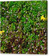 Birdsfoot Trefoil Surrounded By Tiny Bright Eyes In Campground In Saginaw-minnesota Canvas Print