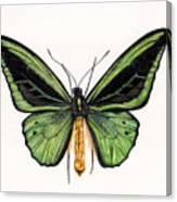 Birdwing Butterfly Canvas Print