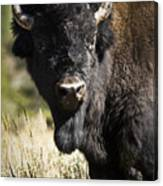 Bison Bull Canvas Print