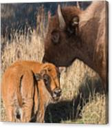 Bison Calf And Its Mother Canvas Print