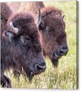 Bison Closeup View Canvas Print