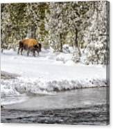 Bison Country  8101 Canvas Print