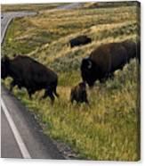 Bison Disrupting Traffic Canvas Print