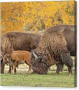 Bison Family Nation Canvas Print
