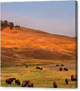 Bison Grazing On Hill At Hayden Valley Canvas Print