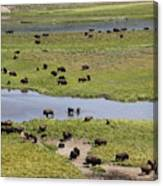 Bison Herd And Yellowstone River Canvas Print