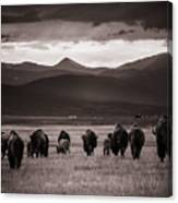 Bison Herd Into The Sunset - Bw Canvas Print