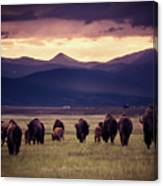 Bison Herd Into The Sunset Canvas Print