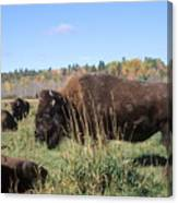 Bison Home On The Range Canvas Print
