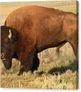 Bison Huffing And Puffing For Herd Canvas Print