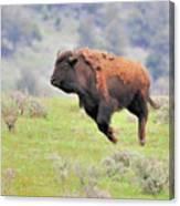 Bison In Flight Canvas Print