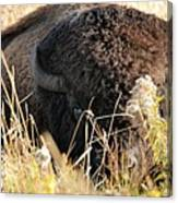Bison In Hiding Canvas Print