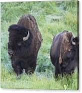 Bison In Love Iv Canvas Print