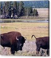 Bison In Yellowstone Canvas Print