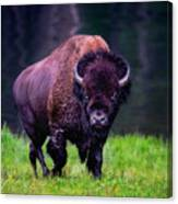 Bison Of Yellowstone Canvas Print