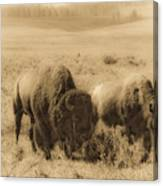 Bison Pair Canvas Print