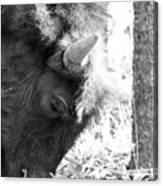 Bison Portrait Monochrome Canvas Print