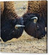 Bison Push And Shove Canvas Print