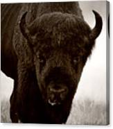 Bison Showdown Canvas Print