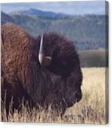 Bison Strength Canvas Print