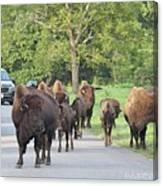 Bison Traffic Jam Canvas Print